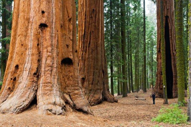 Największe drzewa na świecie - sekwoje olbrzymie w Kanadzie.
