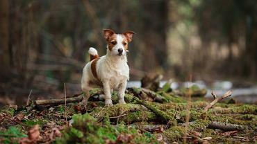 Pies przebiegł 380 km, by odnaleźć właścicieli