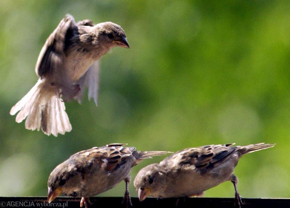 jakie ptaki mają penisa)