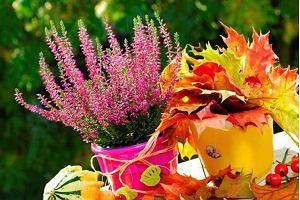 Wrzosy w doniczkach, czyli jesienna dekoracja