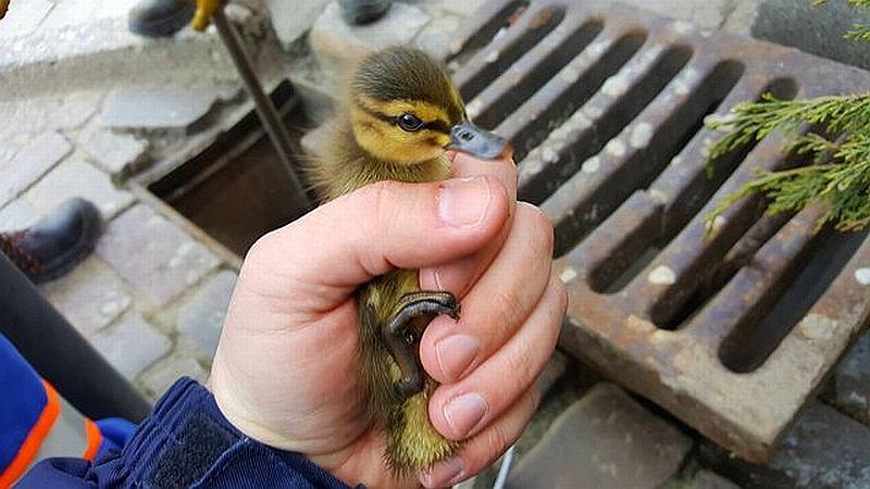 Jedna z uratowanych kaczuszek