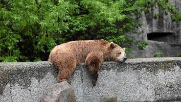 Wybieg niedźwiedzi