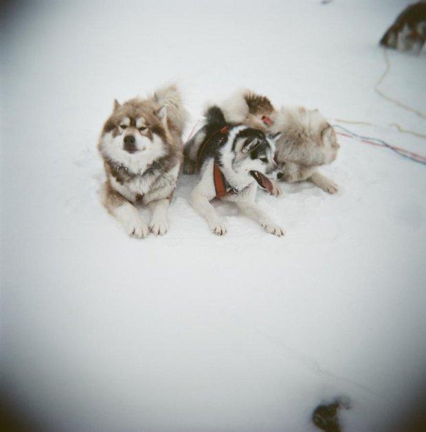 Kanadyjskie psi eskimoskie