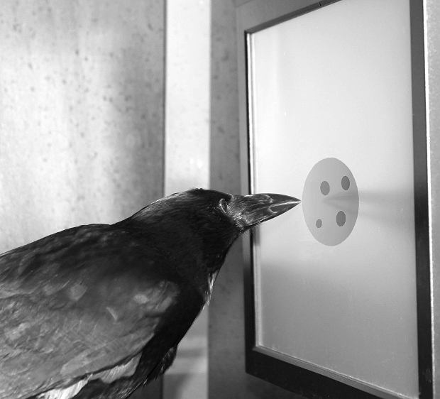 Rachująca wrona