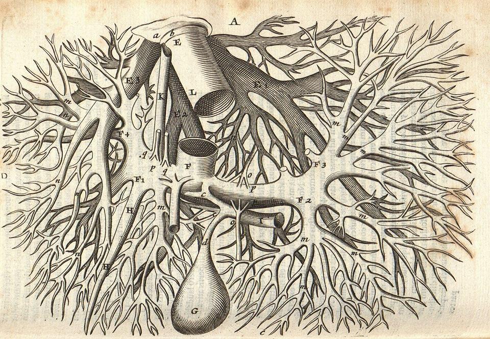Schemat ukrwienia wątroby i pęcherzyk żółciowy;