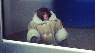 Małpka Darwin w sklepie IKEA