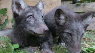 Dwa małe lisy uratowane przez działaczy stowarzyszenia Otwarte Klatki