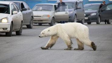 Głody niedźwiedź polarny na ulicach Norylska w Rosji