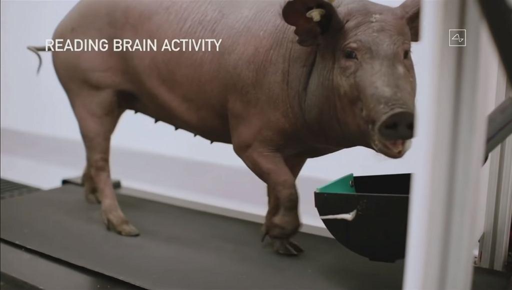 Świnia podłączona do Neuralink