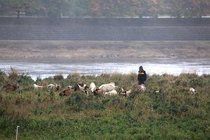 Zagadkowa śmierć dwunastu kóz na wyspie koło mostu Gdańskiego. Sprawę bada lekarz weterynarii i policja