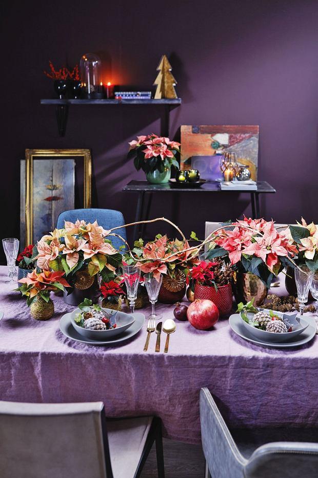 Dekoracja stołu: gwiazdy betlejemskiej w wielu kolorach