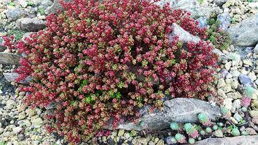 Rozchodnik to bardzo popularna roślina ogrodowa. Zdjęcie ilustracyjne