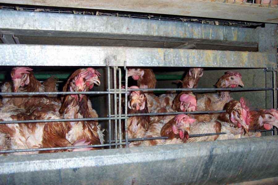 Trzy największe sieci spożywcze nie będą sprzedawać kurczaków z ferm przemysłowych