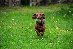 Jamnik - pies myśliwski, czy kanapowiec? [charakter, karma, opinie]