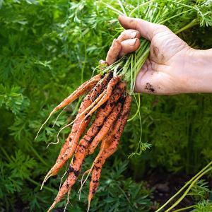 Główną zaletą marchewki jest jej uniwersalność - to warzywo zwalcza wiele schorzeń, utrzymuje organizm w zdrowiu, ale także doskonale pielęgnuje skórę