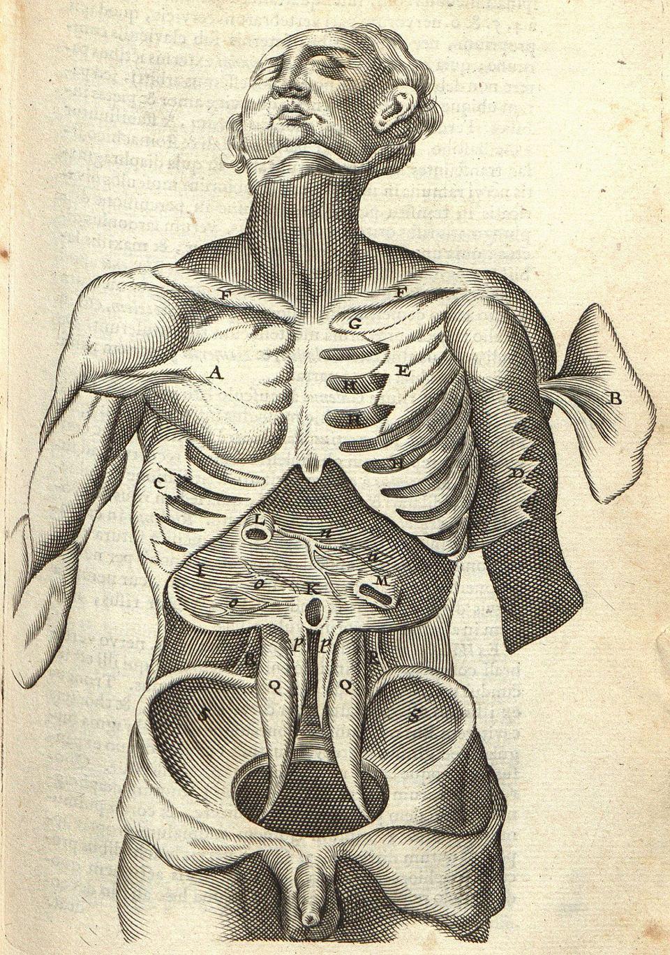 Anatomia klatki piersiowej i podbrzusza;