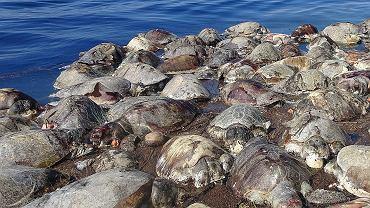 Żółwie oliwkowe - Meksyk