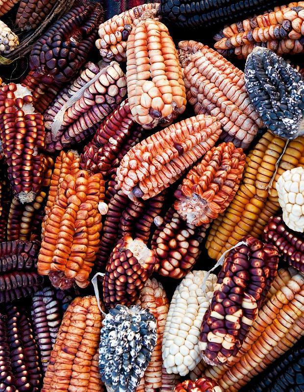W Peru rośnie ponad 50 odmian kukurydzy. Z tej najciemniejszej wyrabia się słodki napój chicha morada