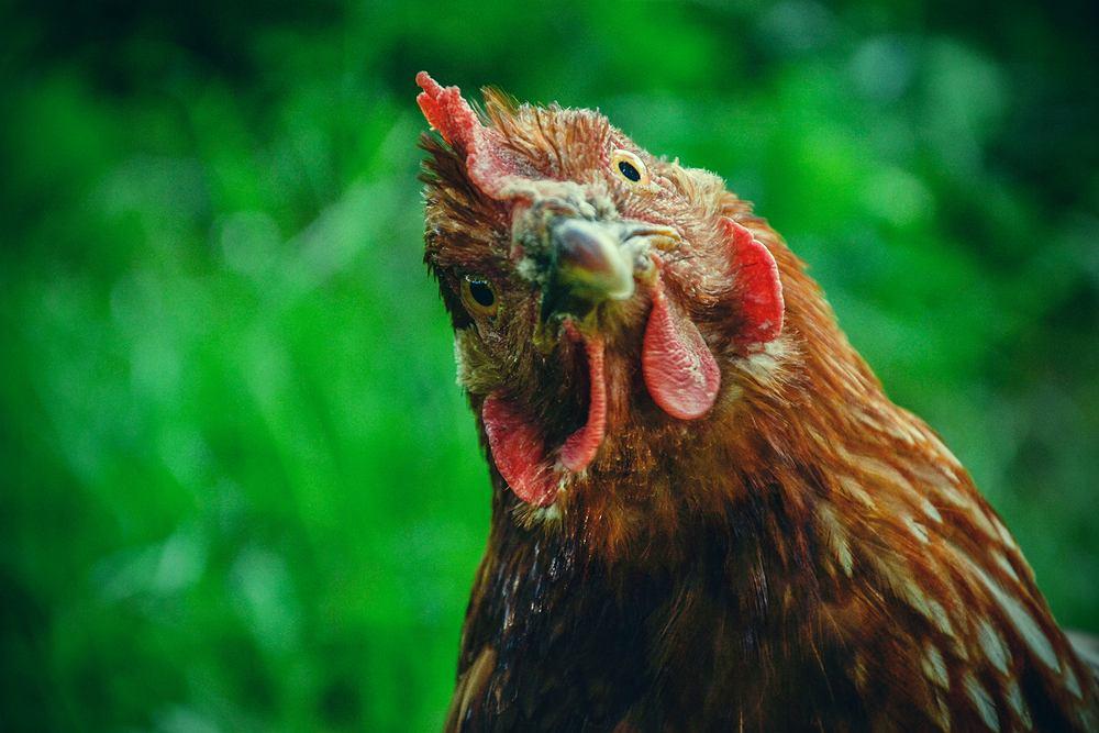 Kupując jajka na bazarku, wcale nie mamy pewności, że kura, która je zniosła 'biegała po zielonej trawce' i naprawdę jadła to, na co miała ochotę