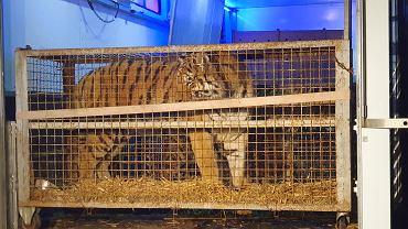 Tygrysy przyjechały do zoo w Poznaniu w nocy ze środy na czwartek