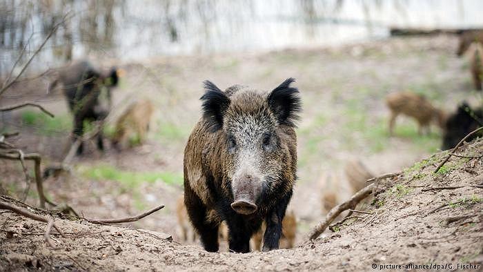 W Niemczech w ubiegłym sezonie łowieckim odstrzelono blisko czterokrotnie więcej dzików niż planuje się w Polsce