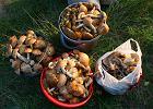 Podkarpacie. Rumuńscy grzybiarze wywożą grzyby z Polski