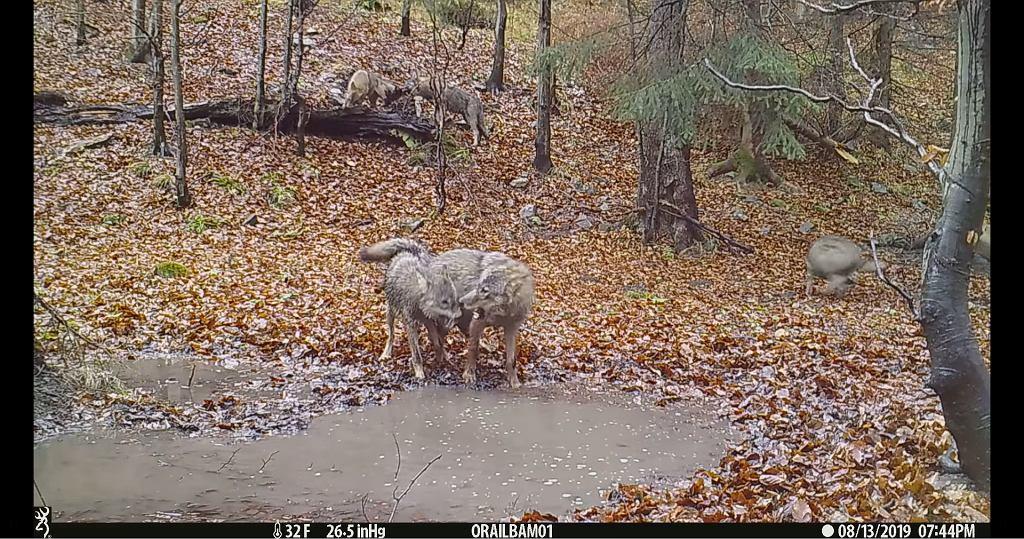 Kamera nagrała, jak wilcza wataha bawi się w lesie