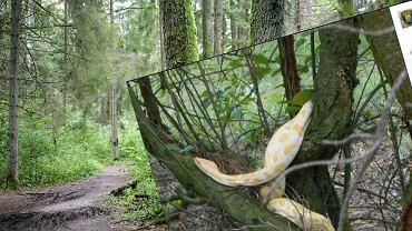 Pyton tygrysi w lesie pod Poznaniem