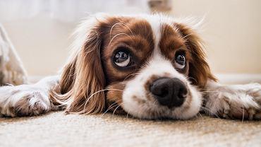 pies (zdjęcie ilustracyjne)