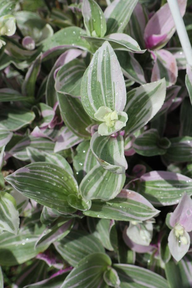 Trzykrotka to bardzo prosta w uprawie roślina