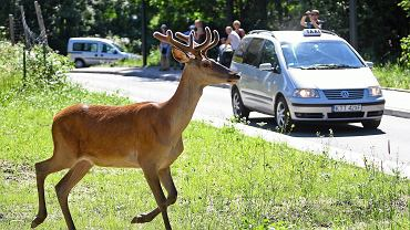 Jeleń na drodze (zdjęcie ilustracyjne)