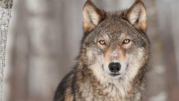 Wilki w Polsce są objęte ochroną - zdjęcie ilustracyjne