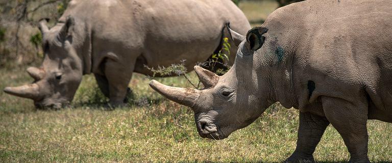 Wydrapali swoje imiona na grzbiecie nosorożca. Zoo: Jesteśmy oburzeni głupotą