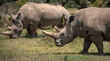 Nosorożce. Zdjęcie ilustracyjne
