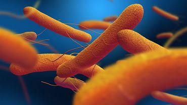 Wygląda tak niewinnie, tymczasem ta bakteria należąca do pałeczek dla osób nieszczepionych jest bezwzględnym zabójcą.