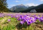 Już są! Tysiące krokusów zakwitły w Dolinie Chochołowskiej i na Kalatówkach w Tatrach