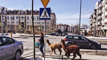 Alpaki w Warszawie