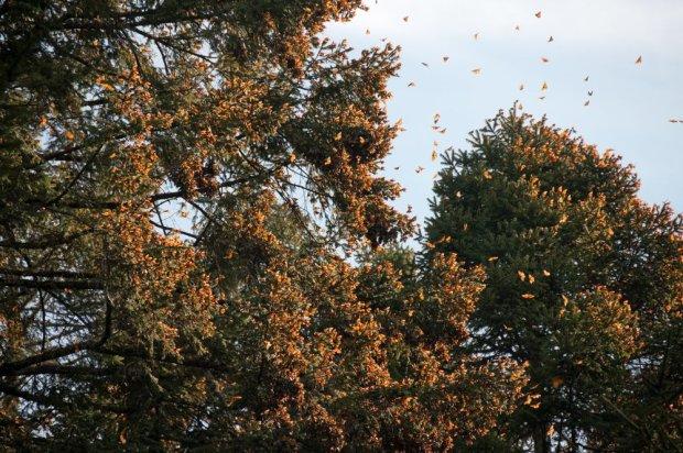 Monarch Butterfly Reserve/ Fot. Shutterstock
