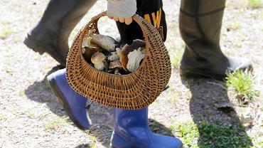 Na te grzyby trzeba uważać - są pod ochroną. Zbieranie ich jest zakazane