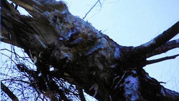 Inż. Piotr Lipiec z Państwowej Komisji Badania Wypadków Lotniczych pokazywał fotografię brzozy, w którą tuż przed katastrofą uderzył prezydencki tupolew. Na zdjęciu (zbliżenie z lewej - fot. Sławomir Kamiński) wykonanym w Smoleńsku zaraz po tragedii z 10 kwietnia 2010 r. widać wyraźnie fragmenty skrzydła samolotu wbite w drzewo. Przeczy to teorii prof. Wiesława Biniendy, czołowego doradcy zespołu Macierewicza, że samolot w ogóle o brzozę nie zahaczył