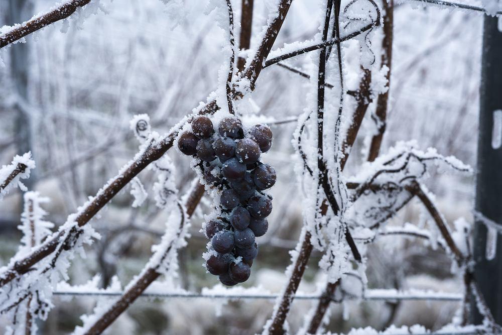 Wino lodowe powstaje z owoców, które zamarzły (zdjęcie ilustracyjne)