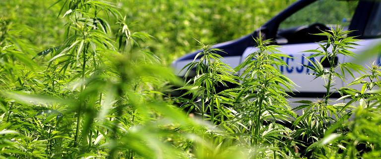 Jastrzębie-Zdrój: Policjant miał plantację marihuany. Od 16 lat na służbie