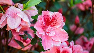 Kwiaty na balkon - lista roślin na balkon południowy, wschodni, zachodni i północny