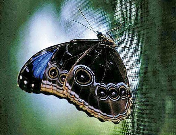 ameryka północna, podróże, wakacje, W krainie Majów: podróż do Belize, Podopieczny farmy motyli Xunantunich.