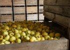 Z tych jabłek będzie cydr