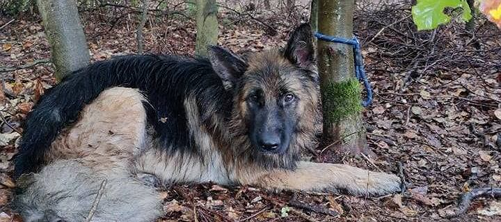 Usłyszała wycie w lesie. Znalazła psa przywiązanego do drzewa