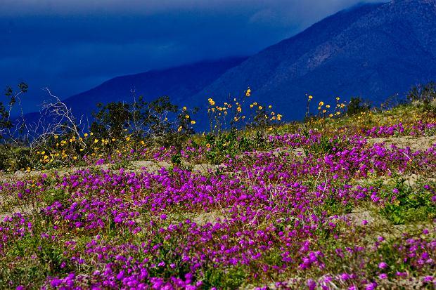 Nagły rozkwit kwiatów w Kalifornii. Dwa lata temu wywołało to kryzys - zabrakło jedzenia i pieniędzy