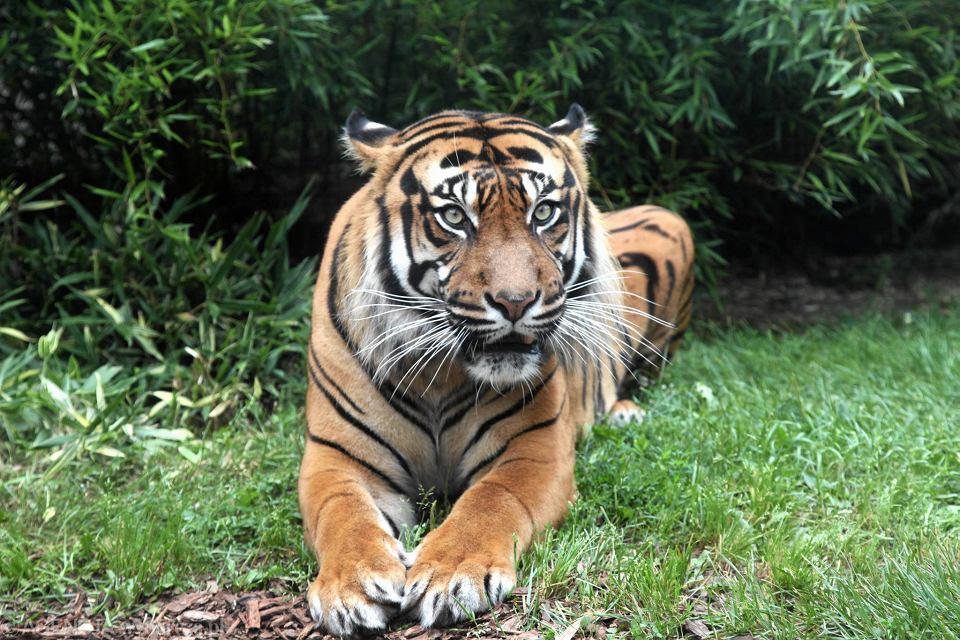 Tygrys we wrocławskim zoo