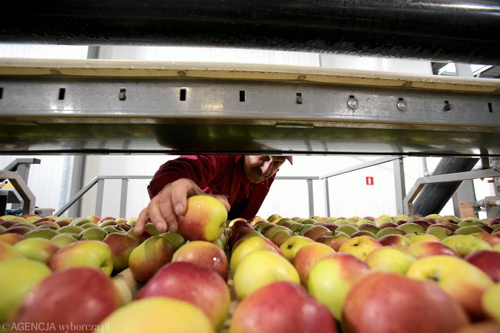 Jabłka rekordowo tanie, sadownicy grożą protestem