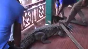 Krokodyl prawdopodobnie uciekł z rezerwatu w poszukiwaniu jedzenia.
